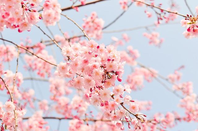 kvetoucí třešeň.jpg